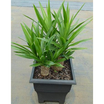 Yucca-Cane-220mm-Tubs-15-dollars
